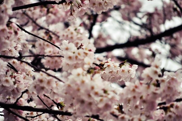 桜2017-雨-_f0234062_22143673.jpg