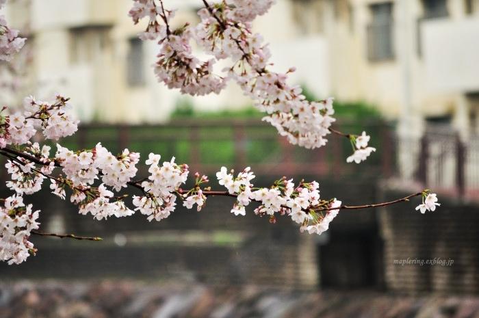 桜2017-雨-_f0234062_22153968.jpg