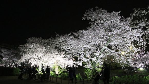 夙川 夜桜・・_d0202264_2142119.jpg