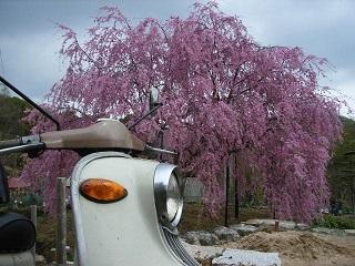 茶話会と桃色枝垂れ桜を楽しむ_a0064474_16273331.jpg