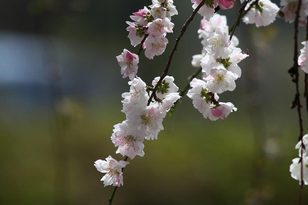 櫻の花を、、_f0305401_16262414.jpg