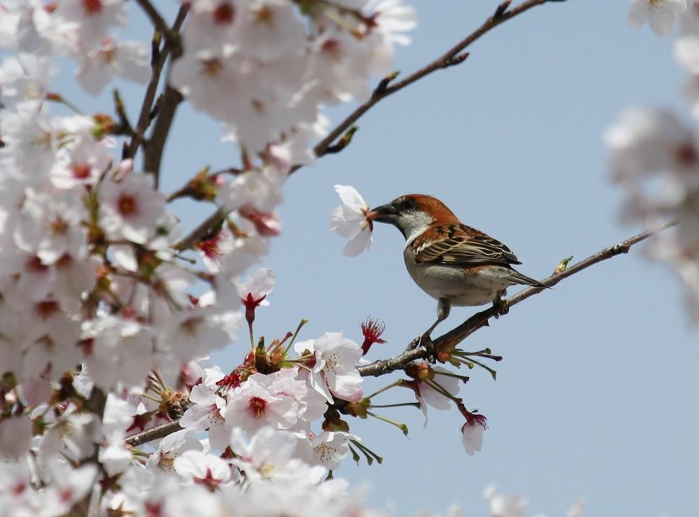 櫻の花を、、_f0305401_16263323.jpg