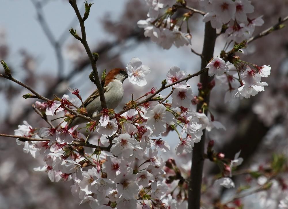 櫻の花を、、_f0305401_16264116.jpg