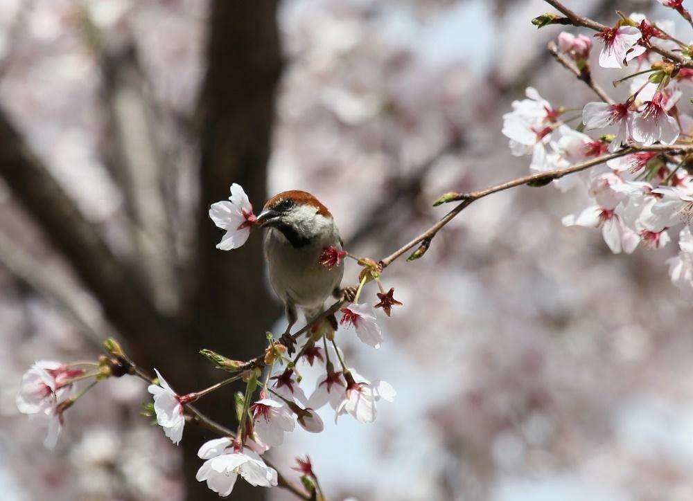 櫻の花を、、_f0305401_16264970.jpg