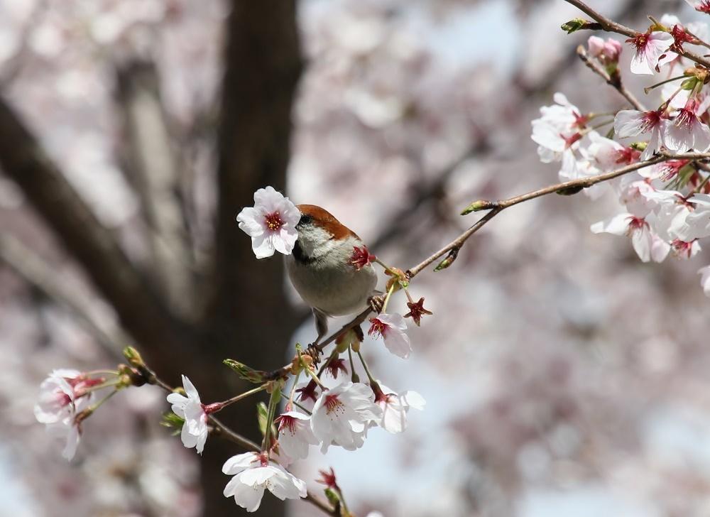 櫻の花を、、_f0305401_16265853.jpg