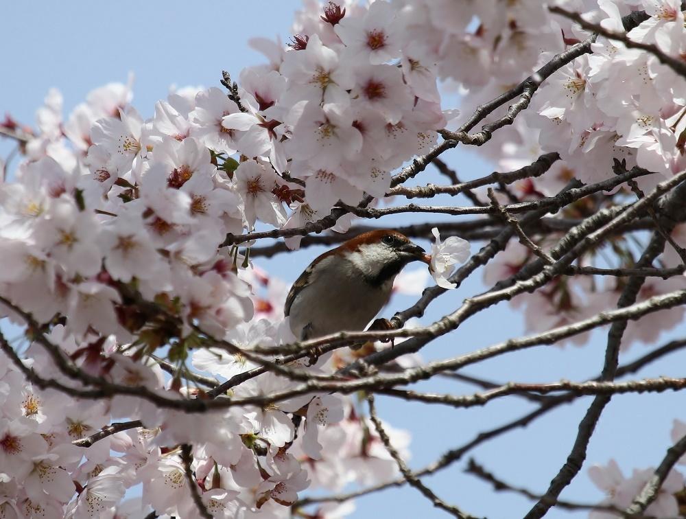 櫻の花を、、_f0305401_16270785.jpg
