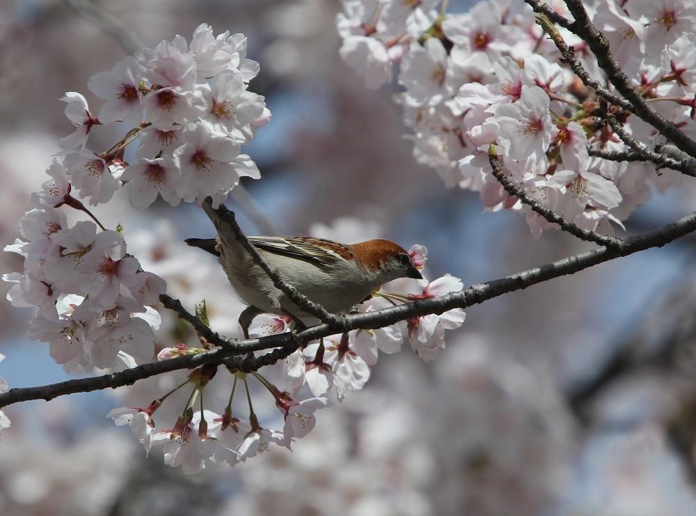 櫻の花を、、_f0305401_16271620.jpg