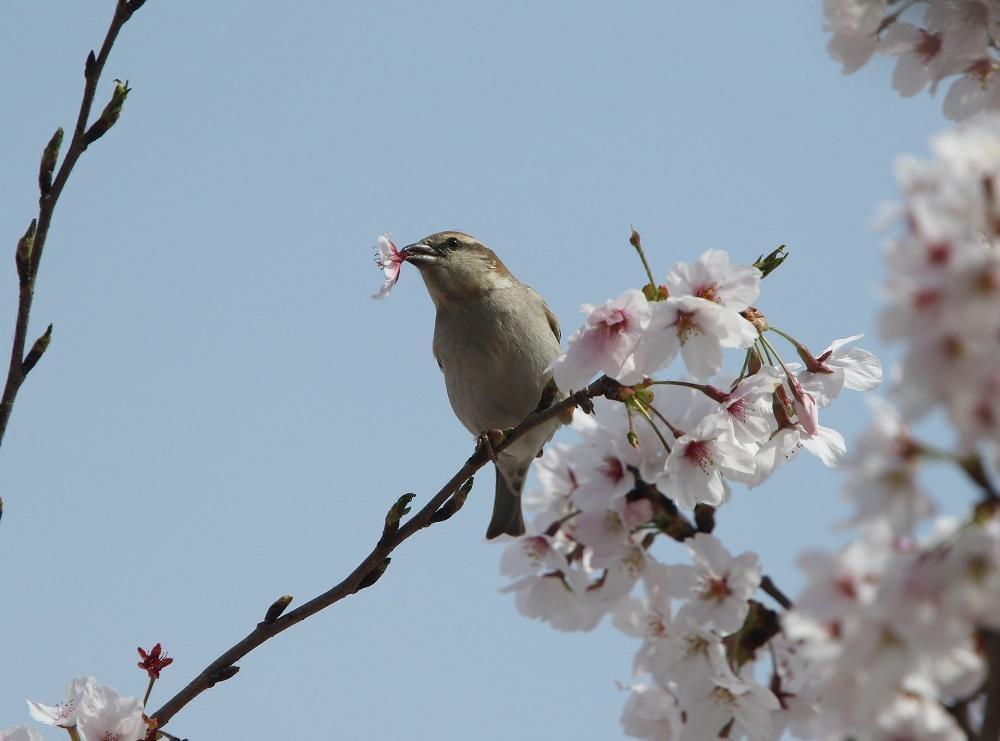 櫻の花を、、_f0305401_16272608.jpg