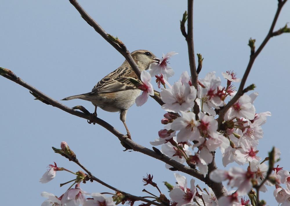 櫻の花を、、_f0305401_16273574.jpg