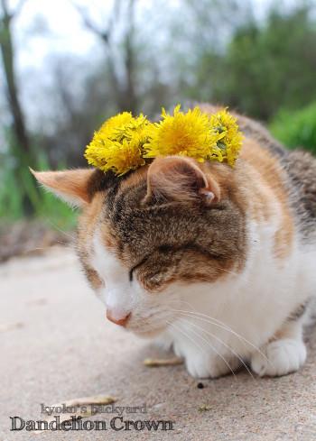 Sandyにたんぽぽの花冠を進呈_b0253205_07161864.jpg