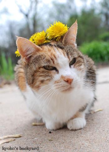 Sandyにたんぽぽの花冠を進呈_b0253205_07164271.jpg