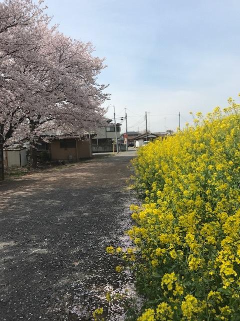 """足利市 I邸に向かう途中! \""""さくらの花と菜の花""""のコントラストがとてもキレイでした。_e0361918_10254309.jpg"""