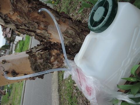 白樺樹液まだ採れてます。_e0099359_14211997.jpg