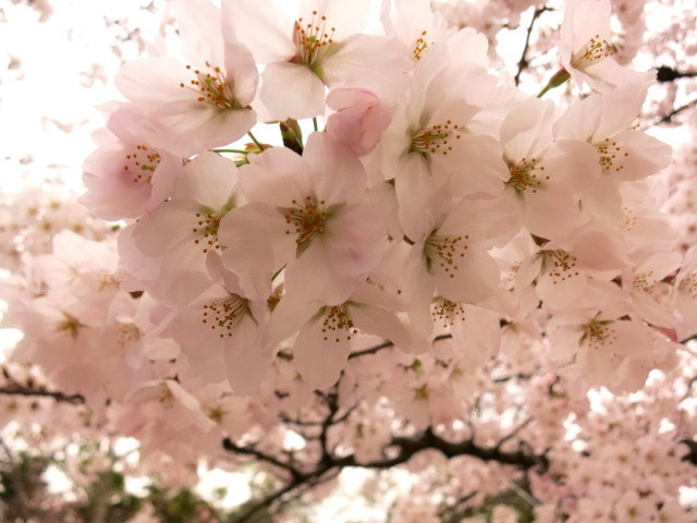 京都お花見 ②お玉はん*土井志ば漬け本舗_f0236260_23225714.jpg
