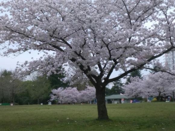 4/10月曜日桜広場満開です💠_b0137064_10291210.jpg