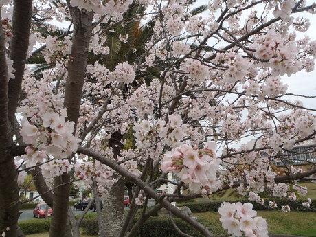 4/10です。 桜 満開!_c0184994_13522956.jpg