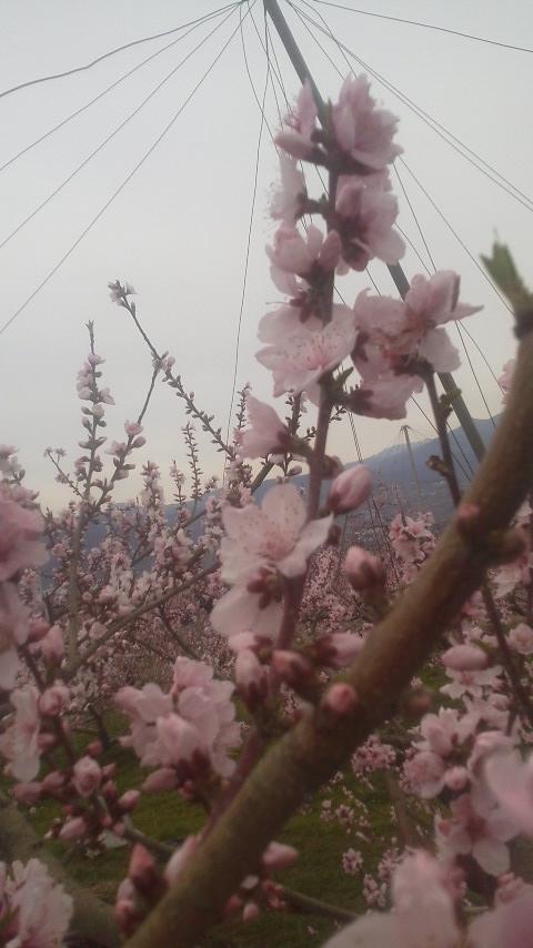 お花見  _f0325525_20472066.jpg