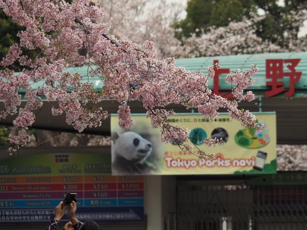 今年の桜総集編_d0027243_09343700.jpg
