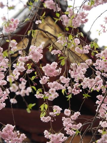 今年の桜総集編_d0027243_09513376.jpg