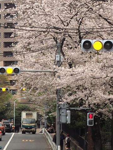 今年の桜総集編_d0027243_09575626.jpg