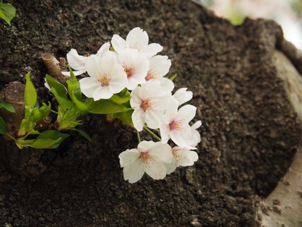 今年の桜総集編_d0027243_10004352.jpg