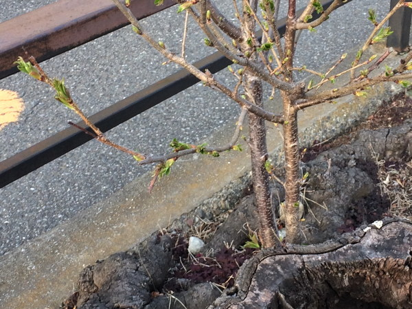 今年の桜総集編_d0027243_10111109.jpg