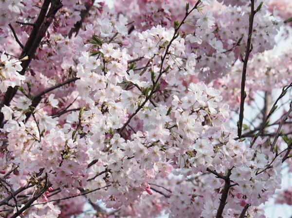 今年の桜総集編_d0027243_10303398.jpg