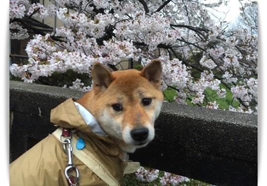 やっと咲いたけど_c0049950_15051263.jpg
