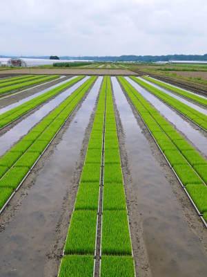熊本の美味しいお米(七城米 長尾さんちのこだわりのお米)大好評発売中!現在の田んぼの様子を現地取材!_a0254656_17410852.jpg
