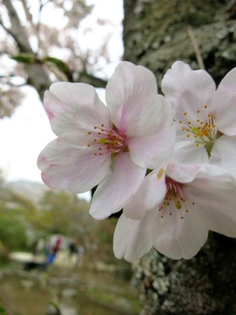 京都お花見 ③円山公園の枝垂れ桜 ・4月6日_f0236260_13182386.jpg