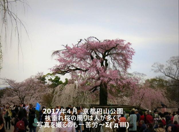 京都お花見 ③円山公園の枝垂れ桜 ・4月6日_f0236260_13290756.jpg