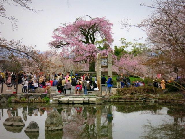 京都お花見 ③円山公園の枝垂れ桜 ・4月6日_f0236260_13355761.jpg