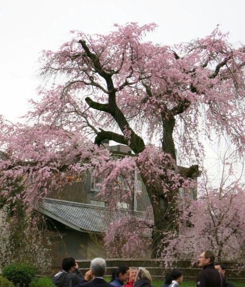 京都お花見 ③円山公園の枝垂れ桜 ・4月6日_f0236260_13401804.jpg