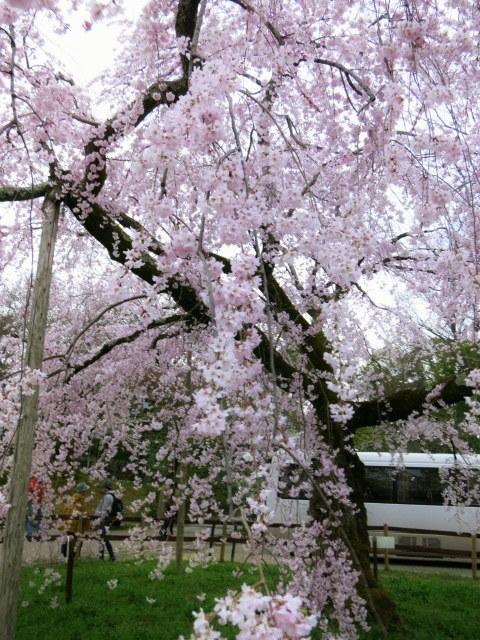 京都お花見 ③円山公園の枝垂れ桜 ・4月6日_f0236260_13410031.jpg