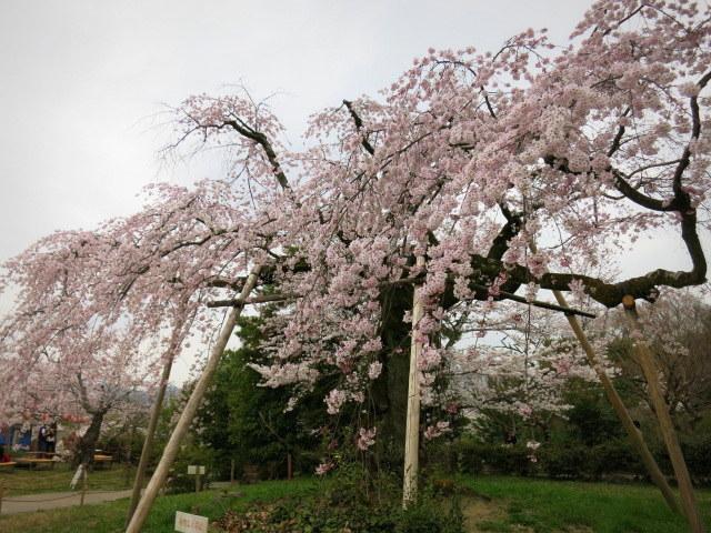 京都お花見 ③円山公園の枝垂れ桜 ・4月6日_f0236260_13423192.jpg