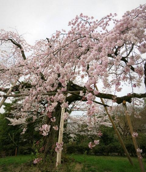京都お花見 ③円山公園の枝垂れ桜 ・4月6日_f0236260_13470581.jpg
