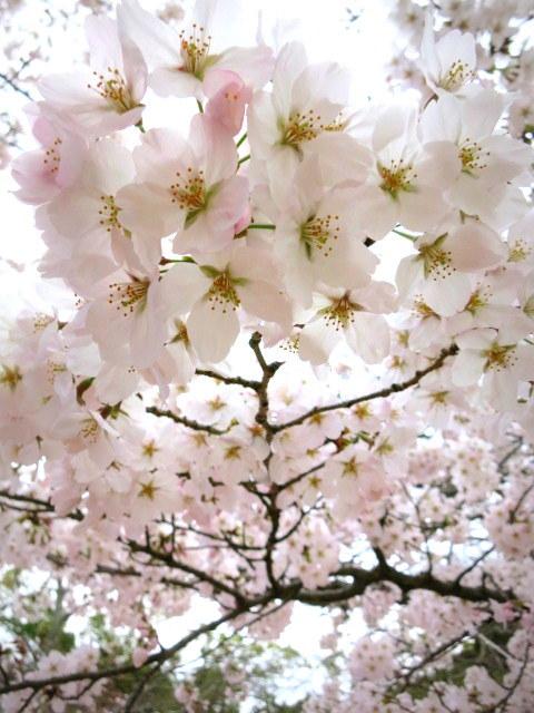 京都お花見 ③円山公園の枝垂れ桜 ・4月6日_f0236260_13540354.jpg