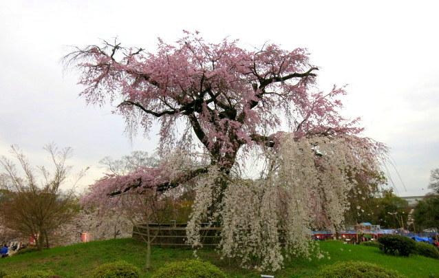 京都お花見 ③円山公園の枝垂れ桜 ・4月6日_f0236260_14092764.jpg