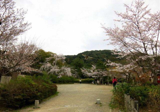 京都お花見 ③円山公園の枝垂れ桜 ・4月6日_f0236260_14205652.jpg