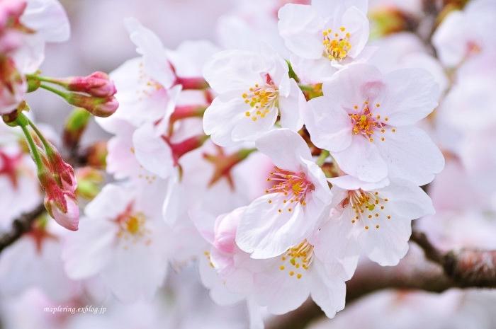 桜2017-晴れ-_f0234062_22100641.jpg