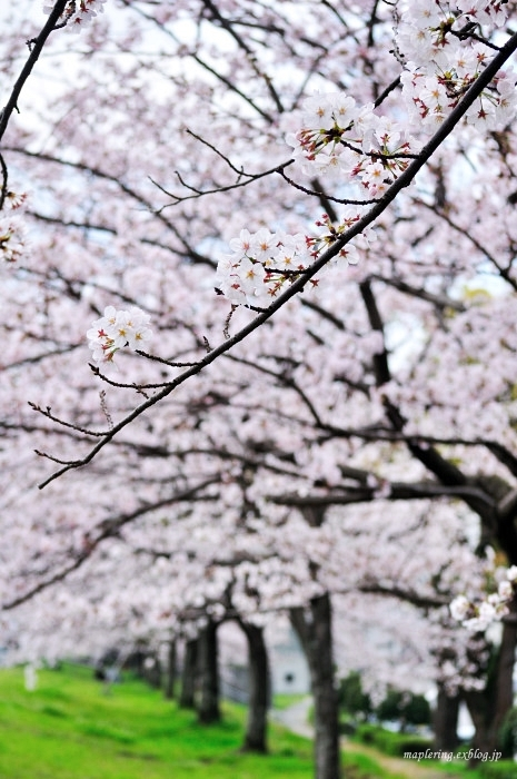 桜2017-晴れ-_f0234062_22110445.jpg