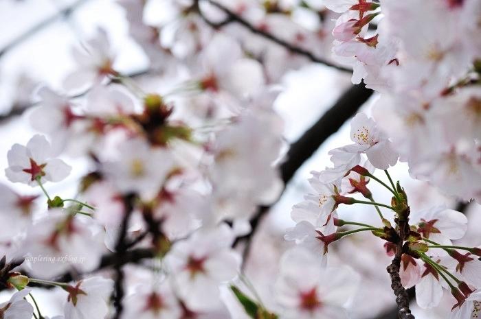 桜2017-晴れ-_f0234062_22111482.jpg