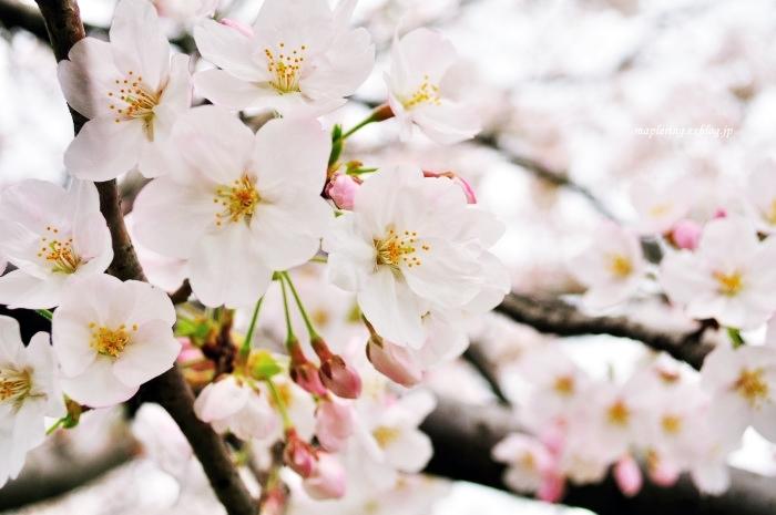 桜2017-晴れ-_f0234062_22152635.jpg