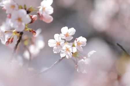 今年の桜_f0185066_13202695.jpg
