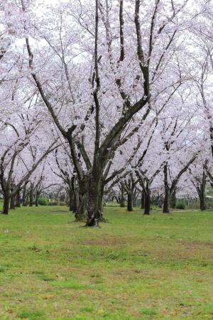 今年の桜_f0185066_13204024.jpg