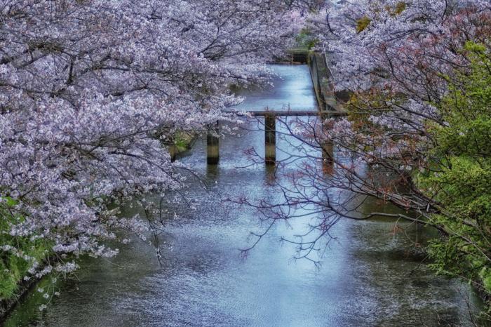 桜  2017  ご近所_f0021869_23453930.jpg