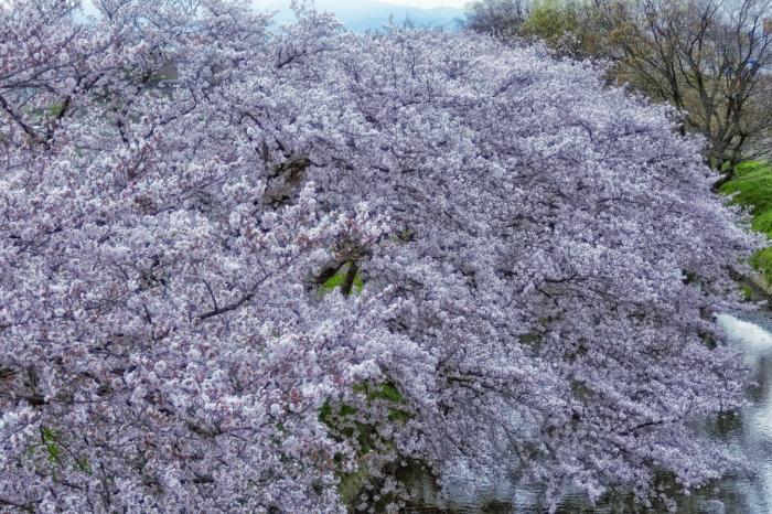 桜  2017  ご近所_f0021869_23455245.jpg
