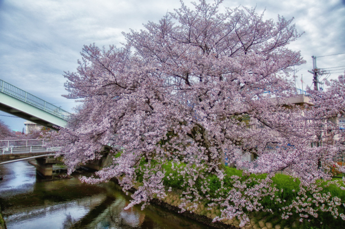 桜  2017  ご近所_f0021869_23472131.jpg
