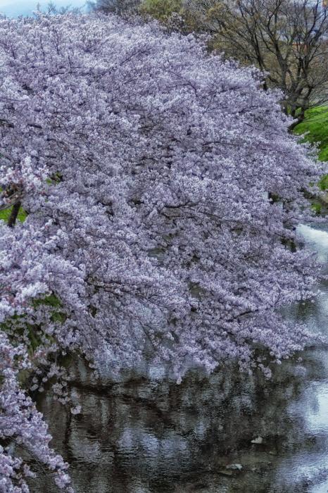 桜  2017  ご近所_f0021869_23474755.jpg