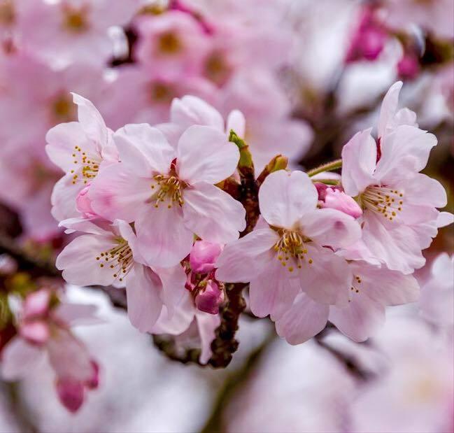 桜雨の東寺でお花見🎶_a0138976_16110423.jpg